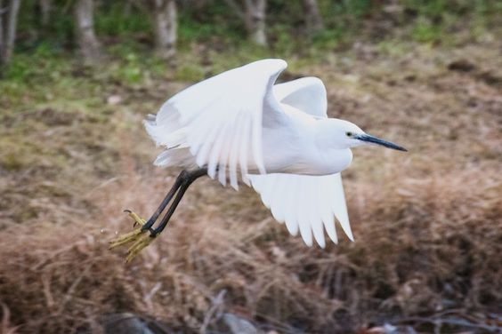 (1) Mitsuhisa Miyakita - Google+ - Little egret