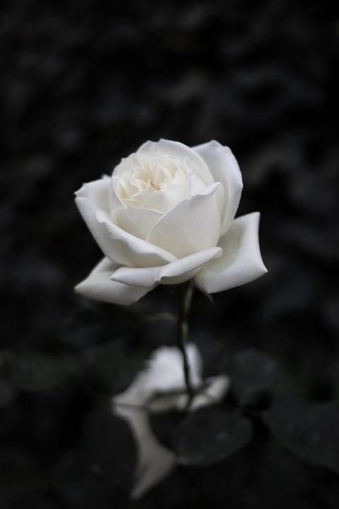 Beautiful White Rose Wallpaper Full Hd Rose Wallpaper This Is Beautiful Rose Full Ultra Rose Flower Wallpaper Black And White Roses Dark Background Wallpaper