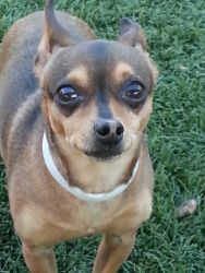 Tarzan is an adoptable Chihuahua Dog in Carrollton, TX. Hey there people, how is every little thing with you? Me I am ok, but I would be a whole lot better if there was a place out there I could call ...