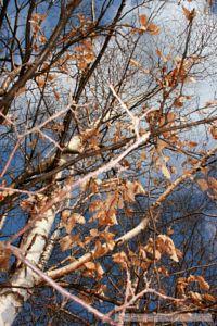 Birch and sky by Darek Mysliwiec