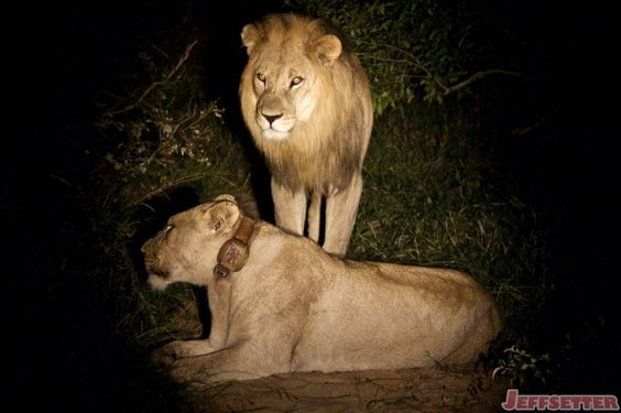 Then it was time for him to get down to business. Yes, it was time for the male lion to mate with a female, because it was mating season for them.