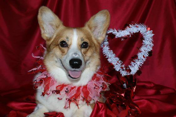 Corgi Valentine. Happy Valentine's Day!