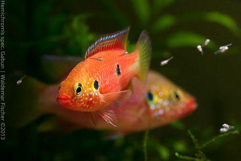 Biotop-Aquaristik Westafrika: Foto des Tages - Hemichromis spec. Gabun Paar