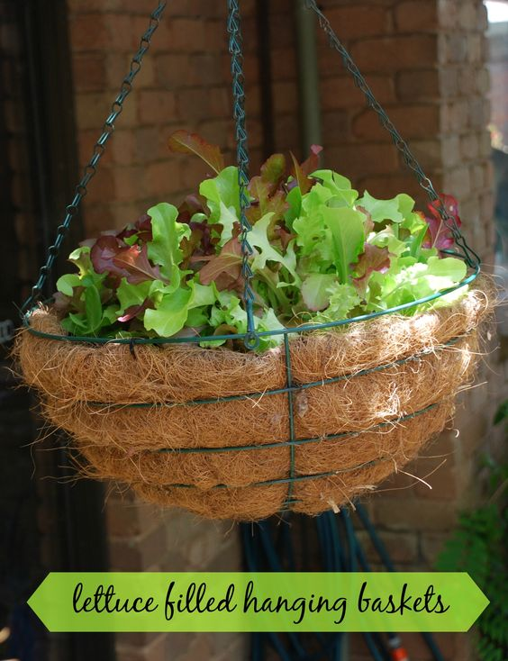 Space savers: growing lettuce in hanging baskets