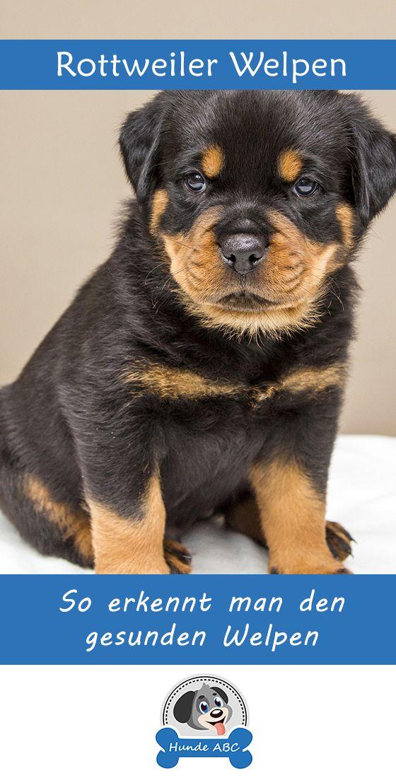Rottweiler Welpen Ein Hundebaby Kommt Ins Haus Die Entscheidung Einen Hund Zu Kaufen Ist Immer Ein Wichtiges Ereignis Hat Ma Welpen Hundebaby Hunderassen