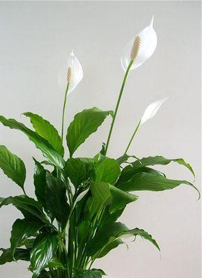 Skrzydlokwiat Plants Spathiphyllum Planting Flowers