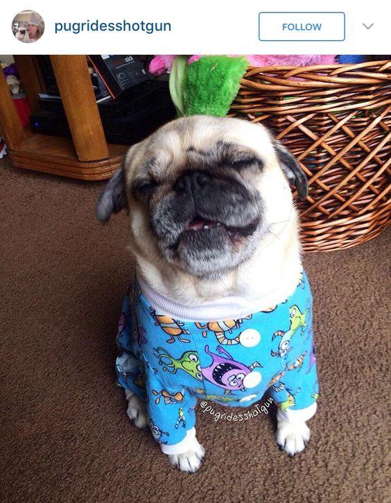 Pug in pajamas
