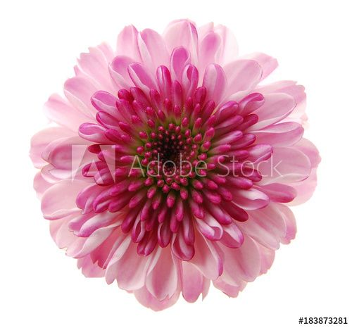 Single Chrysanthemum Flower Head Isolated On White Buy This Stock Photo And Explore Similar Images At Adobe Stock Chrysanthemum Flower Chrysanthemum Flowers