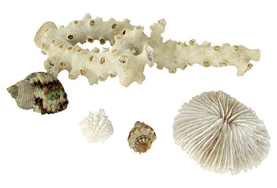 Saltwater Shells and Corals ($145.00)  $59.00 One Kings Lane