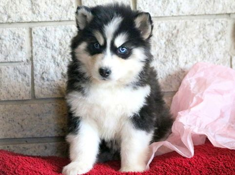 Siberian Husky Puppy For Sale In Mount Joy Pa Adn 60633 On Puppyfinder Com Gender Male Age 7 Weeks Old Siberian Husky Husky Puppy Husky