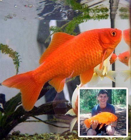 poisson rouge anglais payé 0.99 cent en 1993 de 38 centimêtres de long