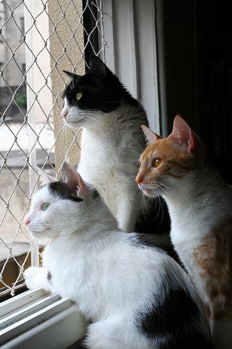 Three Cats by the window... by fofurasfelinas, via Flickr
