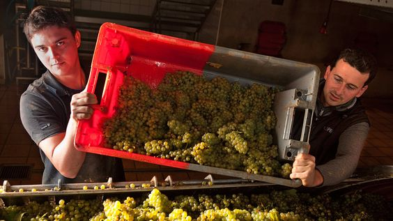 Putting a face on Pinot Blanc
