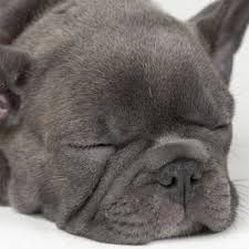 franse bulldog blauw - Google zoeken