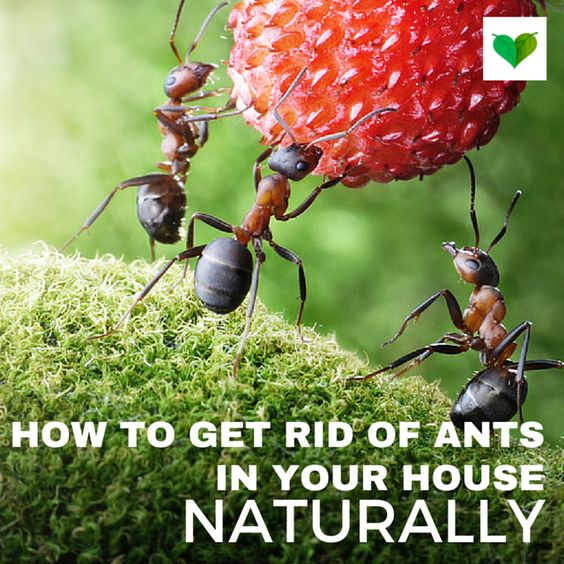 how to get rid of ants in the house naturally and easy home remedies pinterest home. Black Bedroom Furniture Sets. Home Design Ideas