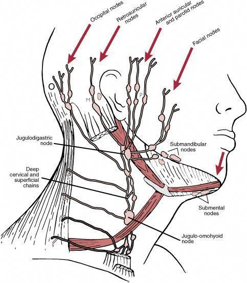 Lymphatic Drainage Of The Neck The Lymphatic Drainage Of The Head And Neck Dartmouth Edu The Lympha Lymph Massage Lymphatic Drainage Massage Lymphatic Massage