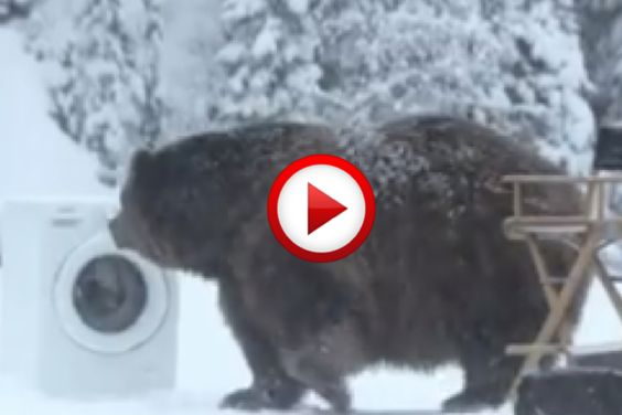 Does a bear strip in the woods? #bears, #animals, #funny, #samsung, #videos, #videobox, #pinsland