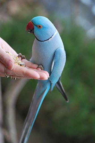 Blue Indian Ringneck Parakeet   Blue+ringneck+parrot