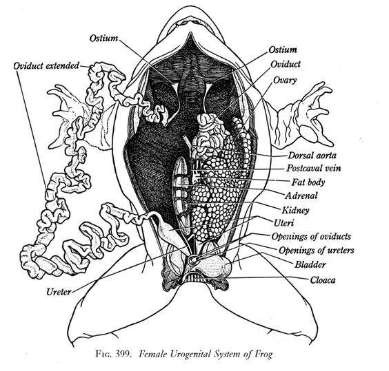 internal anatomy of the frog