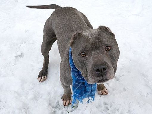 Pictures Of Puma A American Staffordshire Terrier For Adoption In