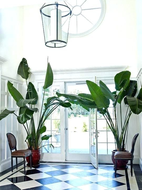 Oversized Plants In Foyer House Plants For Sale Big Leaf Plants Indoor Tree Plants