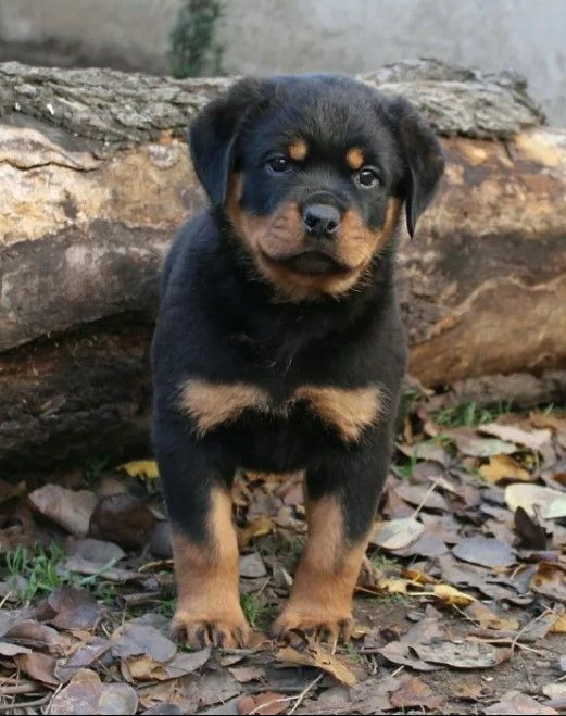 90 Male Rottweiler Dog Names Rottweiler Dog Names Dog Names Rottweiler Dog