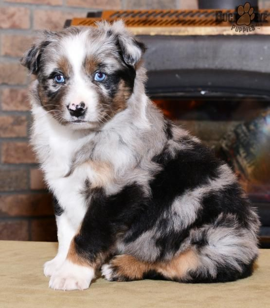 Luv Image By Molly O Sullivan Australian Shepherd Puppies
