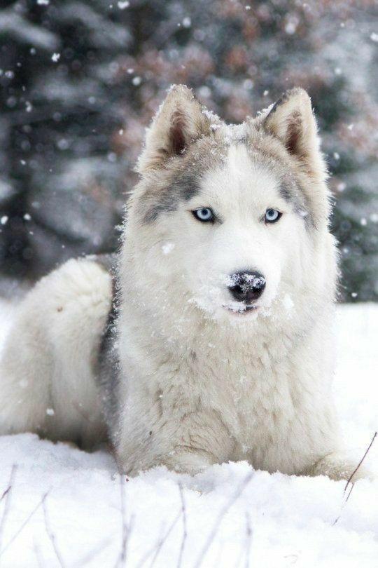 Siberian Husky Husky Dogs Siberian Husky Siberian Husky Dog