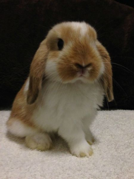 baby holland lops for sale baby holland lop bunnies for sale kendall 4 h pinterest pets. Black Bedroom Furniture Sets. Home Design Ideas