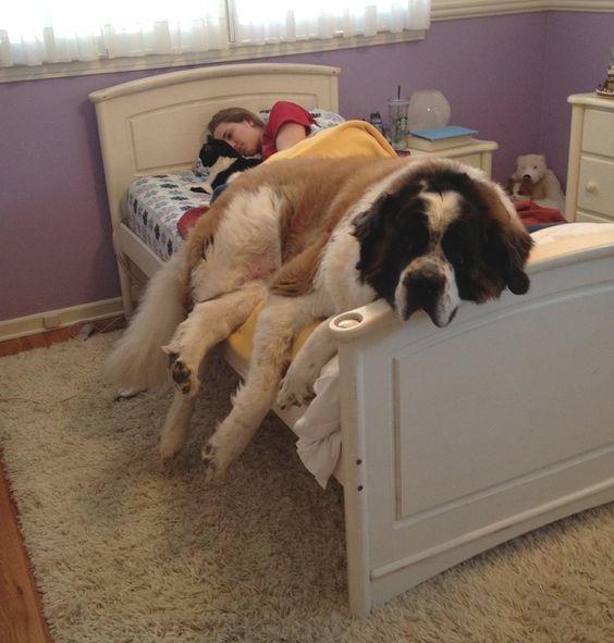 Ces 20 chiens sont si adorables que leurs maîtres leur pardonnent d'avoir volé leur lit : le 7 est trop craquant