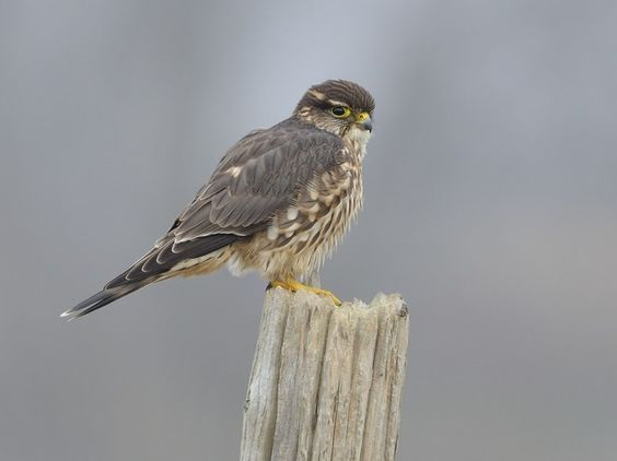 1000  images about Birds of Prey on Pinterest