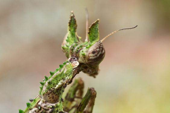 Moss mantid (Haania sp.) (3) | Flickr - Photo Sharing!