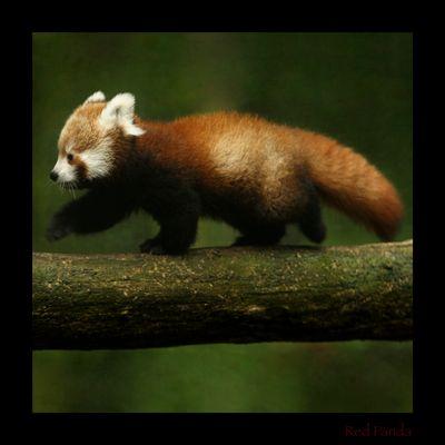 bebe panda vermelho