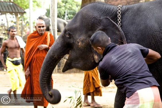 the expression of a happy buddhist monk watching the temple elephants being fed by the mahouts