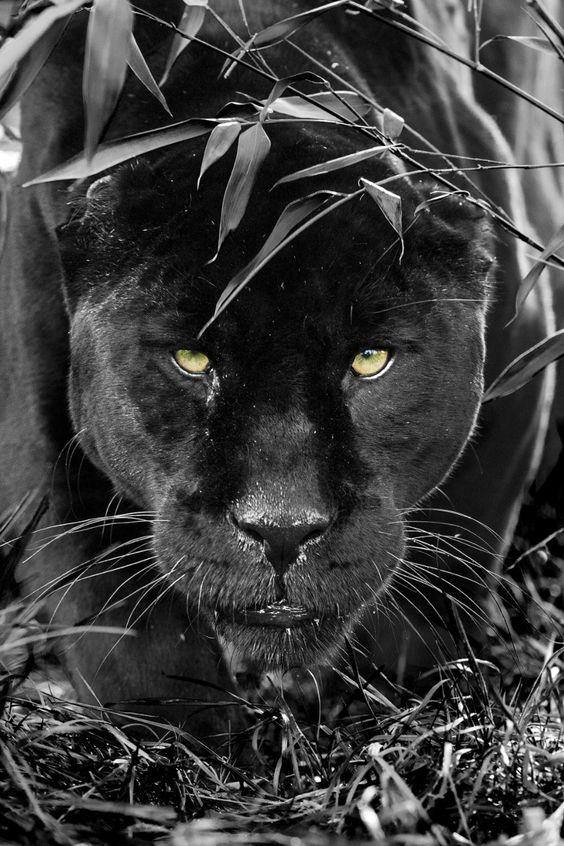 Magical Nature Tour magicalnaturetour:  (via Black Jaguar Series by Colin Langford / 500px)