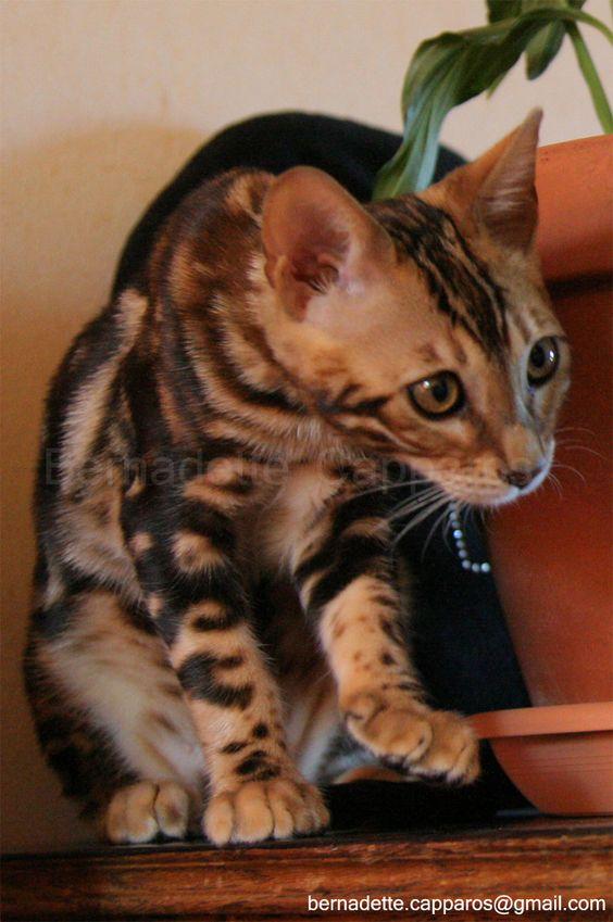 Frisby des Grands Filous, le papa des chatons, superbe gabarit pour ce mâle bengal brown marble.   Découvrez ses chatons en vidéo sur http://www.youtube.com/user/SilverBengalLoof  Crédits photo : Christopher