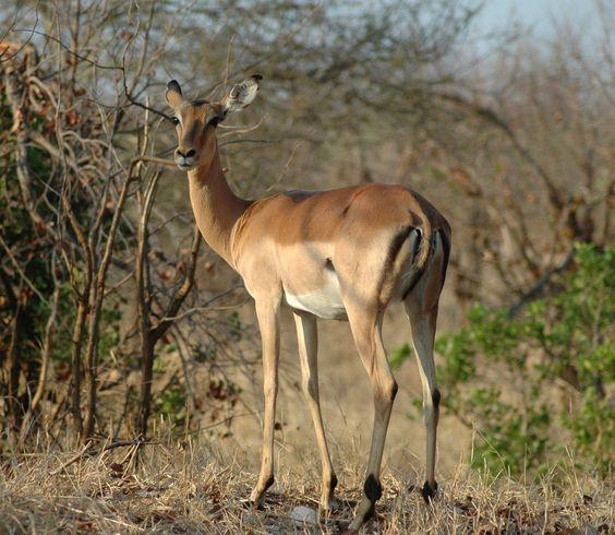 superb female impala top 10 most elegant antelope species. Black Bedroom Furniture Sets. Home Design Ideas