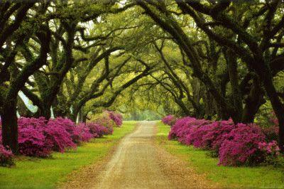 Hermoso camino bordeado de árboles y azaleas moradas
