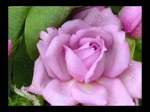Роза раскрыла бутон из альбома Рубаи Омар Хайяма 2015