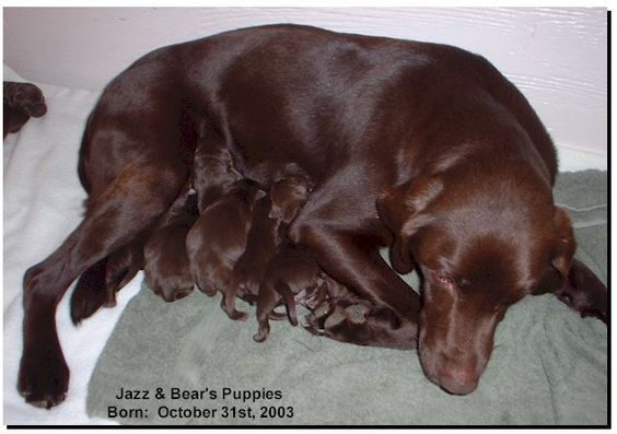 chocolate+lab+puppies   chocolate labrador puppies 2003 jazz and bear s 9 chocolate labrador ...