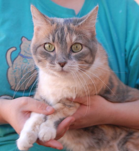 "Seras is a wonderfully affectionate girl with the most stunning blue, cream & white (dilute calico) coloring and she is ready for adoption at Nevada SPCA (www.nevadaspca.org).  Seras likes to do ""happy feet"" on her blanket when content and ready to nestle down for a nap.  She softly chats with you throughout the day, especially at meal-times, and gets along beautifully with other cats.  She is four years of age and spayed."