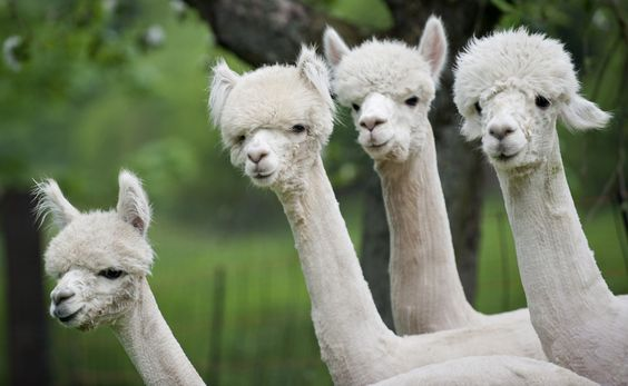 Alpaca...looking at it while farther away from this pic kinda mikes it look like part of a weird, fuzzy hand lol