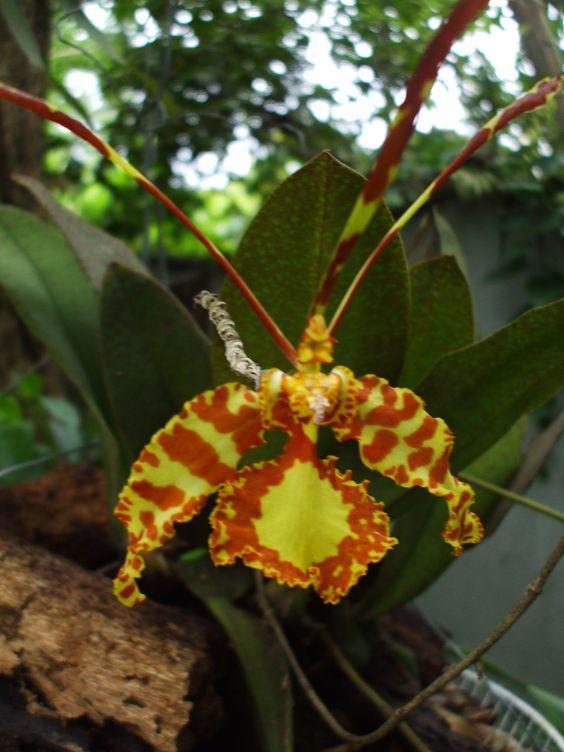 Orquidea mariposa.