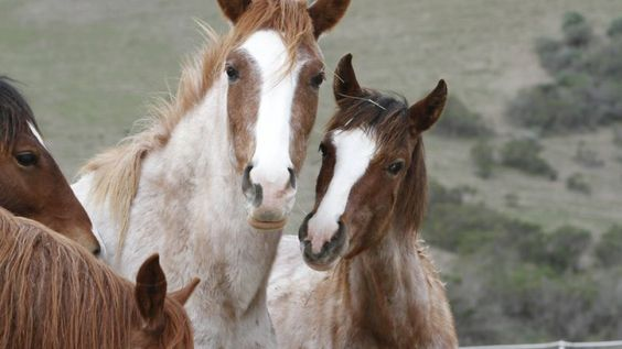 Bureau of Land Management rounds up 30 horses in Nevada; 20 weanlings and yearlings will be offered for adoption at the Tonopah Fairgrounds on September 24, 2016.