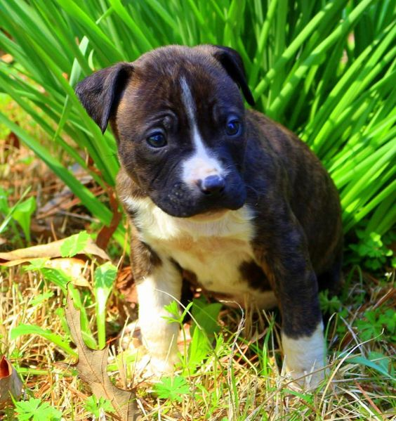 Meet Dolly, a Petfinder adoptable American Staffordshire Terrier Dog | Watertown, CT | Dolly is about 6 weeks old and ready for a home of her very own. She is super sweet and will be a...