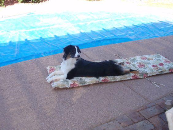 Cooper  Australian Shepherd  Working on his tan by the pool.