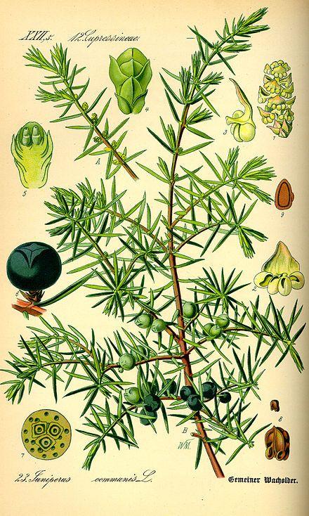 Juniperus Communis Wikipedia La Enciclopedia Libre Dibujo Botanico Botanica Dibujos Botanicos
