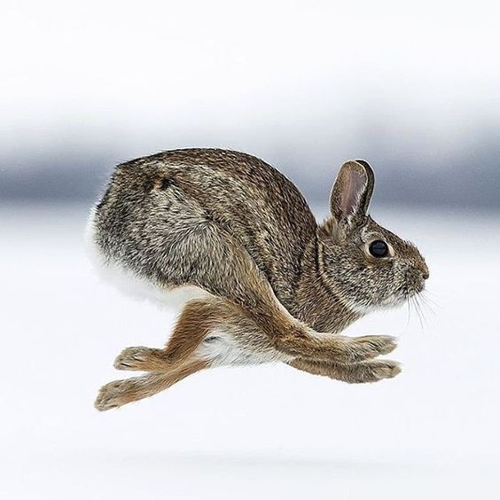 Check out @wildlifeplanet for more stunning photos of animals & nature! Cottontail Rabbit mid stride. Photo by: @justinrusso Explore. Share. Inspire: #earthfocus