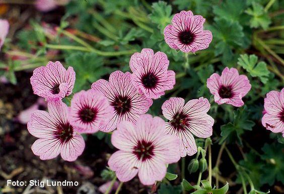 geranium cinereum ballerina perennials pinterest. Black Bedroom Furniture Sets. Home Design Ideas