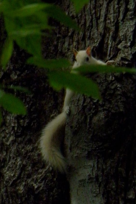 "The white Squirrels of Arden Pa. from my Friends at ""THE SWEEP"" D & S"